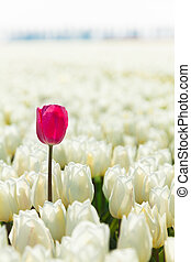 Close-up view of white tulips with pink one