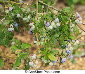 Close up view of young blueberries