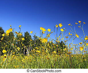 buttercup flowers in summer meadow