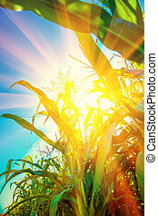 close up view on plants of corn with translucent sun instagram s