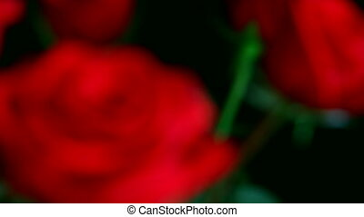 close-up view on red rose changing focus, shallow DOF