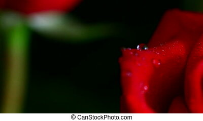 close-up view on red rose with water drops, shallow DOF