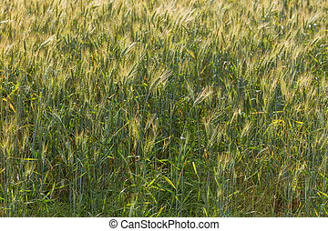 Close up view on rye ripe ears