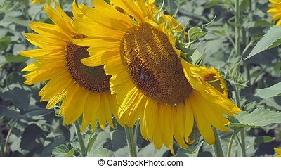 Close up view on two sunflower heads growing in agricultural...