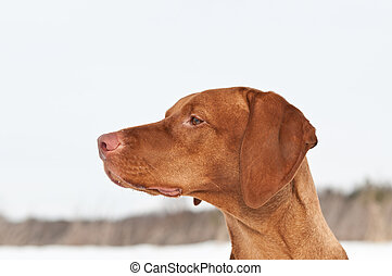 Close-up Vizsla (Hungarian Pointer) Portrait in Winter