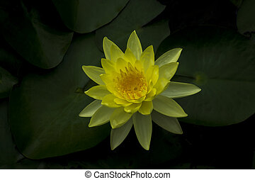 Close up water lily in dark leaves background