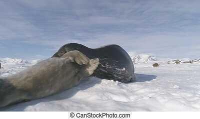 Close-up Weddell seals playing on Antarctica snow.