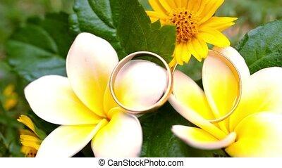 Close up wedding gold rings on the Thai flowers frangipani. Macro video shift motion