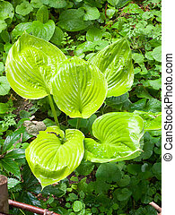 close up wet big lush green leaves on the ground
