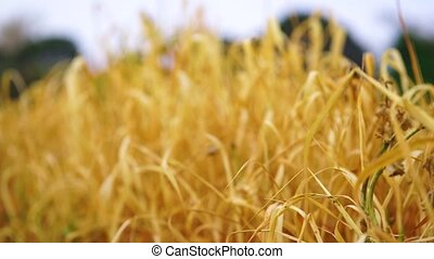 Close up wheat field at sunset in summer