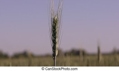 Close up wheat spikelets.
