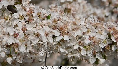 Close up white cherry plum tree blossom with green leaves, low angle view, 4K