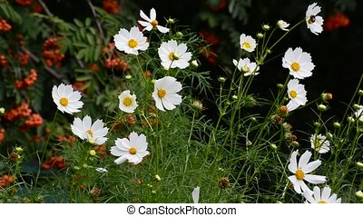 Close up white cosmos flowers in garden