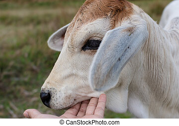 Close up white cow in the field.