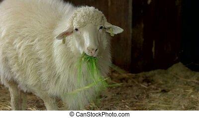 Close up white ewe eating hay in stable. Cute woolly animal...