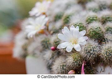 Close up white flower on cactus.