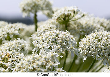 Close up white flowers on a blue background