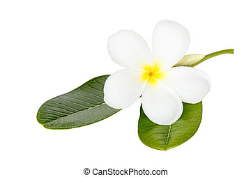 Close up white frangipani flower isolated on wite background