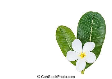 Close up white frangipani flower isolated on white background