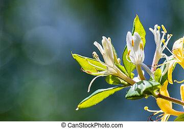 Close up White Honeysuckle (Lonicera caprifolium) flowers; ...