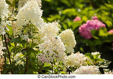 Close up white hydrangeas garden at the garden