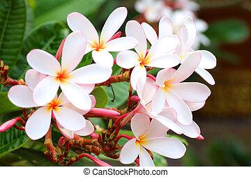 Close up white, pink and yellow plumeria ,frangipani flowers