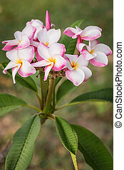 white, pink and yellow plumeria frangipani flowers with leaves