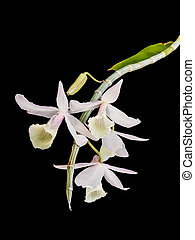 wild orchid isolated