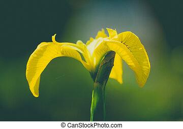 close up wild yellow flag iris in garden pond