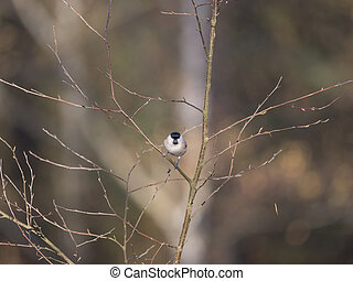 Close up Willow tit, Poecile montanus bird perched on the bare tree branch at winter time. Selective focus.