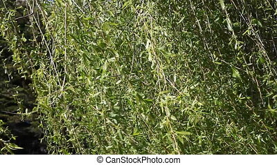 close up willow tree