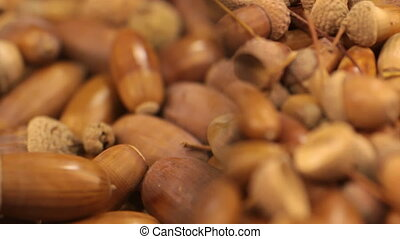 Close-up with a magnifying glass. Rotation of oak acorns....