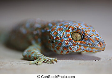 Tokay geckos - Close Up with Borneo gecko (Gekko gecko) ...