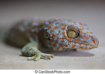 Tokay geckos - Close Up with Borneo gecko (Gekko gecko)...