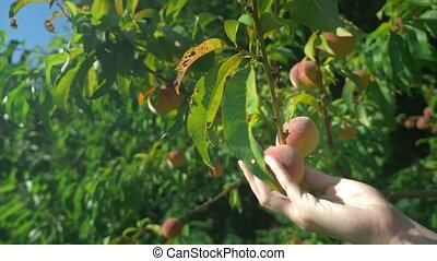 close-up. Women's hands hold an armful of fresh peaches in a...