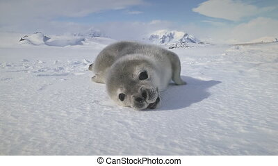 Close-up yawning baby seal on Antarctica snow land