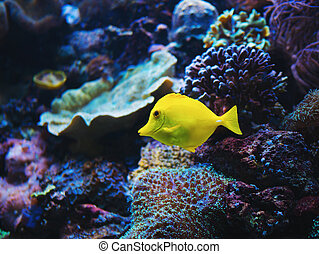 Close-up yellow bright small fish swimming in aquarium.