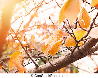 yellow dry leaves on tree at sunset in autumn season.
