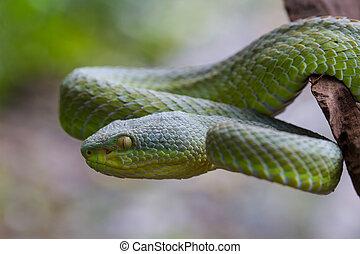 Close up Yellow-lipped Green Pit Viper snake (Trimeresurus...