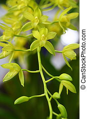 close up yellow orchid, Thailand