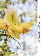 Close up yellow Paphiopedilum of Orchid flower