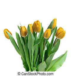 close-up yellow tulips isolated on white