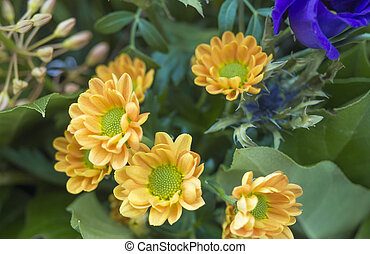 close up yelow Chrysanthemum, mums or chrysanths flower arrangement, floral background