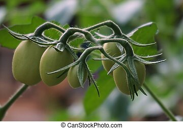 close up young tomato