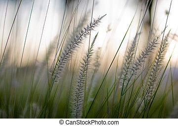 close-up., ytlig, gräs, dof.