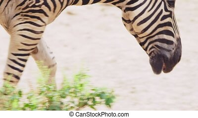 Close-up. Zebra is in the open-air zoo open-air cage. -...