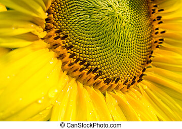 close-up, zonnebloem