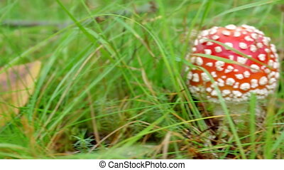 Close-upof a Amanita poisonous mushroom in nature