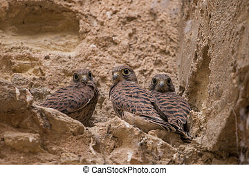 Close view of a bunch of wild peregrine falcon chicks on an ...