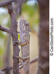 Close view of a Mediterranean chameleon on a tree.